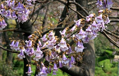 Princess Tree propagation methods