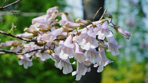 How to propagate Princess tree