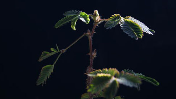 Shameplant (Mimosa Pudica)- Growing and caring tips