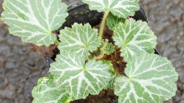 Strawberry Begonia profile