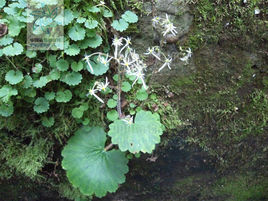 grow and care for Strawberry Begonia