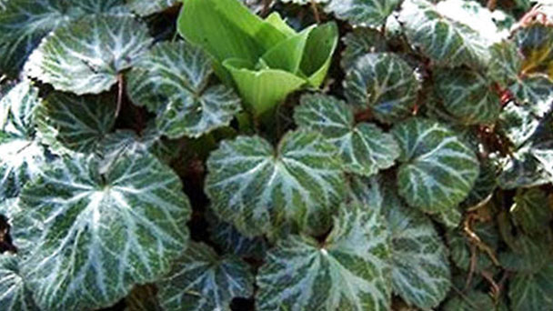 How to propagate Strawberry Begonia