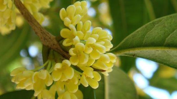 How to grow and care for Sweet Osmanthus