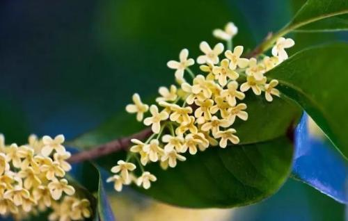 propagation methods of Sweet Osmanthus