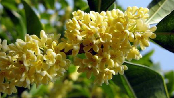 How to propagate Sweet osmanthus