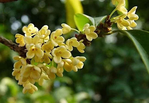 grow and care for the Sweet Osmanthus