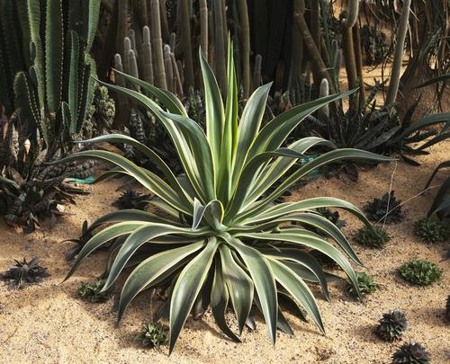 methods of Agave propagation