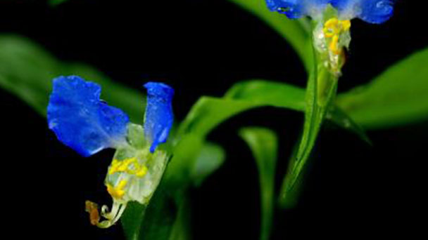 How to propagate Asiatic dayflower