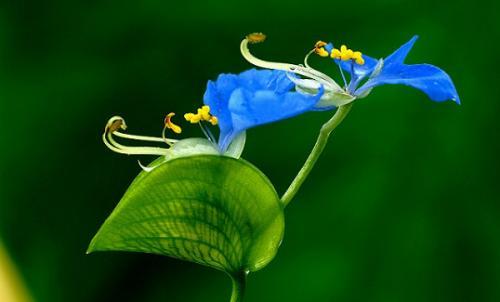 propagation method of Asiatic dayflower