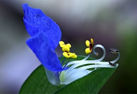 grow and care for Asiatic dayflower