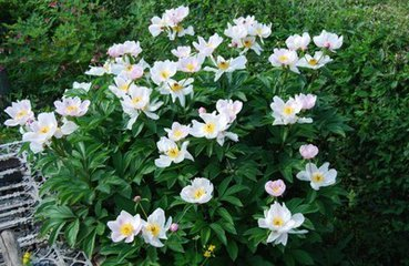 grow and care for Chinese peony