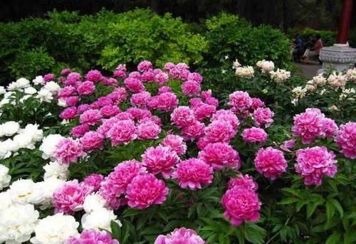 propagation methods of Chinese peony.