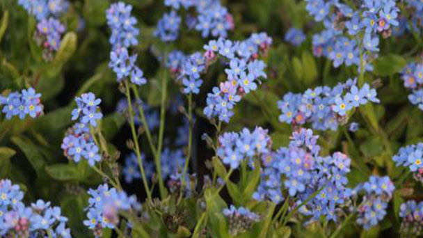 How to grow and care for Forget-Me-Nots