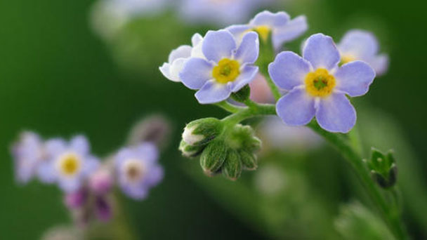 How to propagate Forget-me-nots