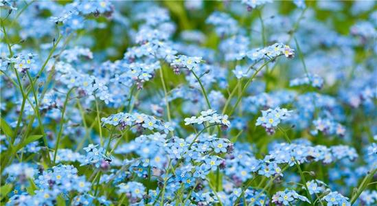 grow and care for Forget-Me-Nots