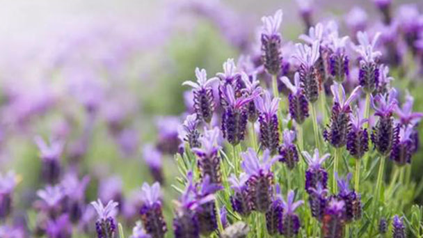 How to grow and care for lavender