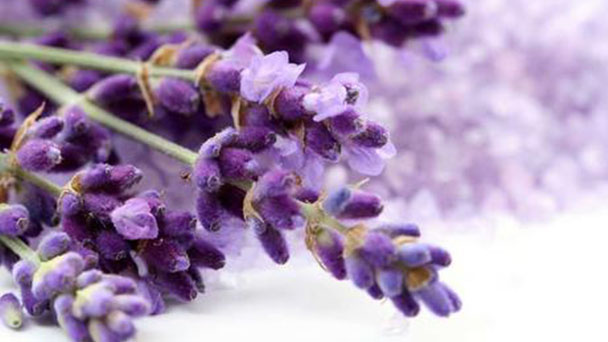 How to propagate lavender