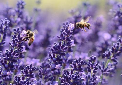 grow and care for lavender