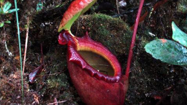 How to propagate pitcher plant