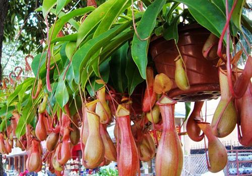 propagation methods of the Pitcher plant.