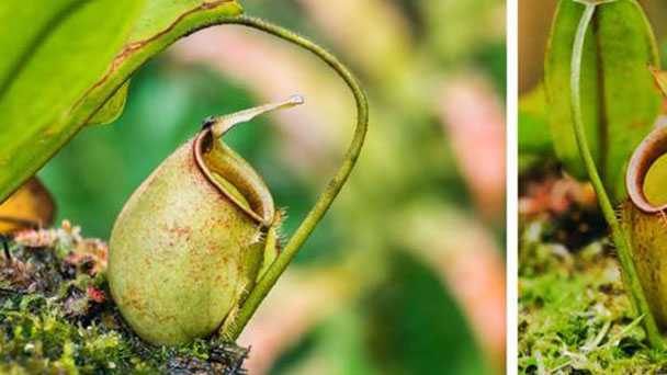 How to grow and care for Pitcher plant