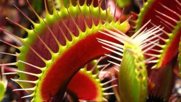 How to propagate Venus flytrap