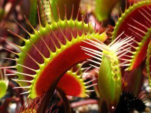 grow and care for Venus flytrap