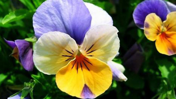 How to propagate wild pansy