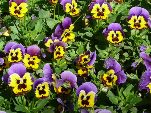 propagation method of Wild pansy