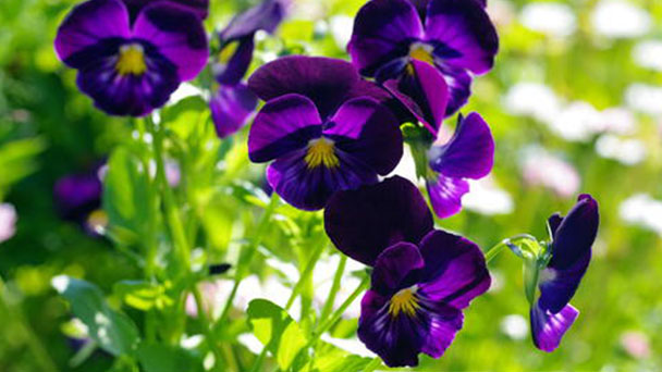 How to grow and care for Wild Pansy