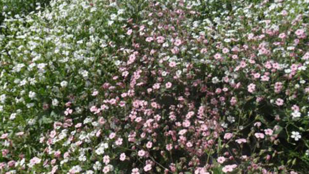 How to care for babys breath