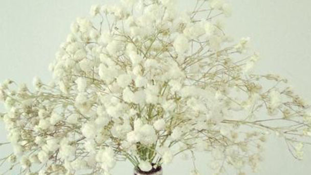 How to grow and care for babys breath