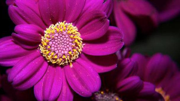 Cineraria plant care guide