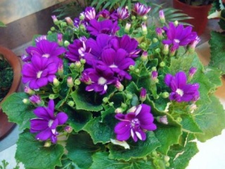 grow and care for Cineraria