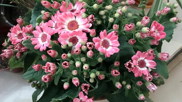 How to care for Cineraria