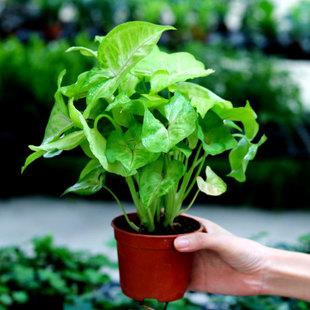 care for Arrowhead Plant
