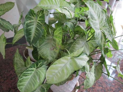 propagation methods of Arrowhead plant.