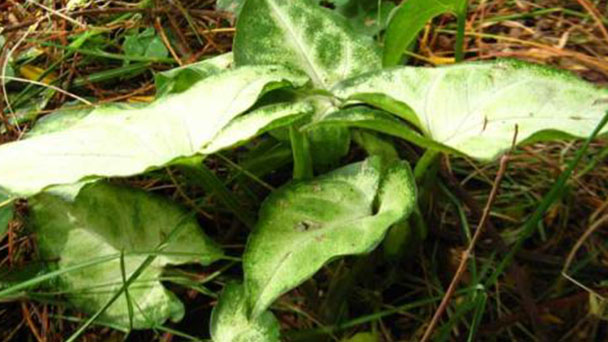 How to grow and care for Arrowhead plant