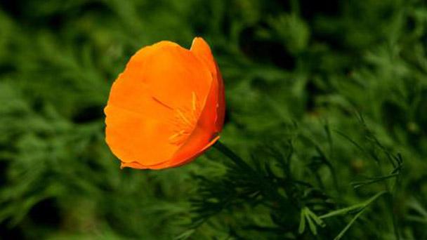 California poppy profile