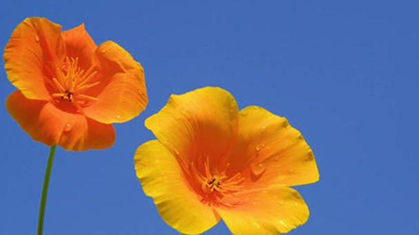 How to grow and care for California Poppy