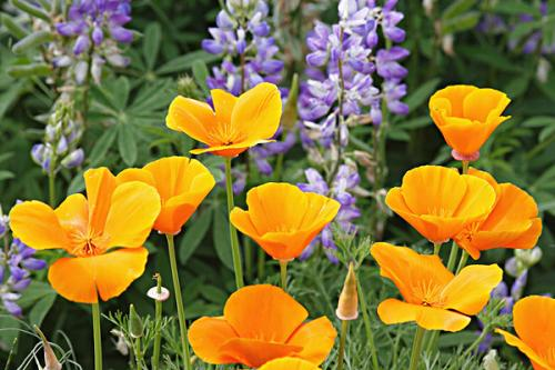 propagation method of California Poppy