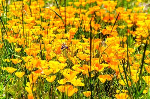 grow and care for California Poppy