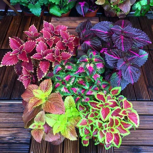 propagation methods of Coleus