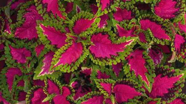 How to propagate Coleus