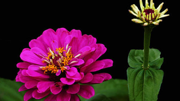 How to grow and care for Common Zinnia