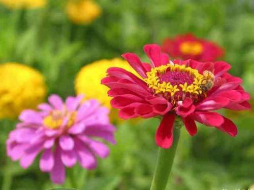 Common zinnia care