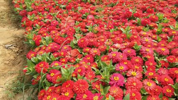 How to care for Common Zinnia