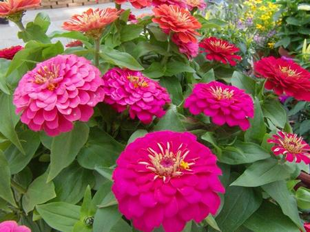Common Zinnia care