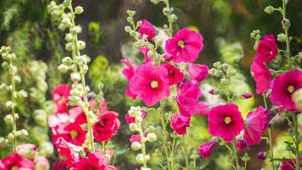 How to propagate Hollyhock