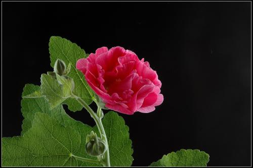 care for Hollyhock
